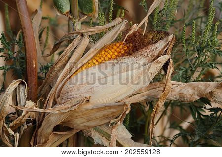 Closeup of mature yellow cob of sweet corn on the stalk. Field of corn ready for harvest