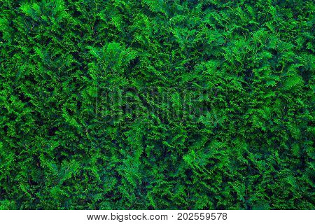 Closeup image og evergreen cypress. Garden wall with green cypress shrub.