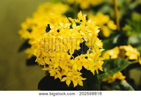 Single Yellow flower spike Rubiaceae Ixora coccinea in the garden
