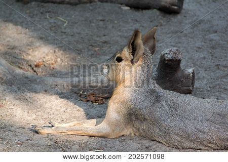 Patagonian mara or jackrabbit with natural habitat only in Argentina.