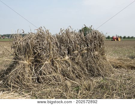 old fashioned vintage wheat sheaves on field with tractor in the background