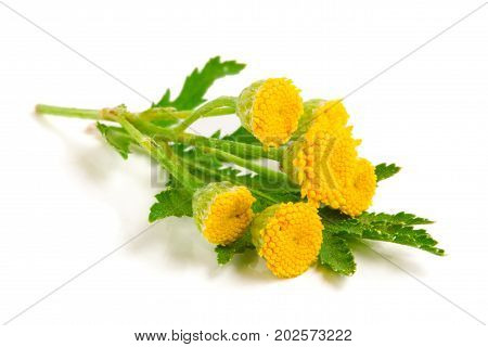 tansy with leaf isolated on a white background. Medical herb.