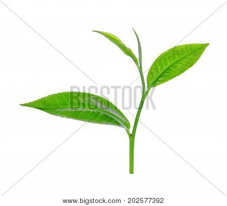 green tea leaf ilsolated on white background