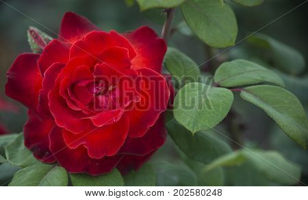 A bright red rose flower with burgundy edges of ovals in the green leaves of a large bush.