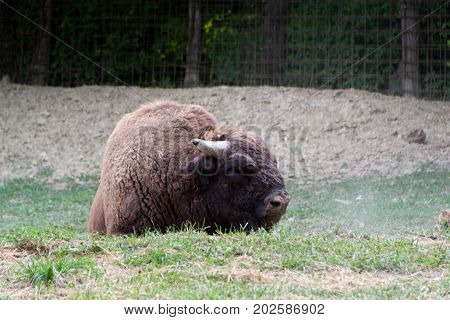 The European bison (Bison bonasus) also known as wisent or the European wood bison