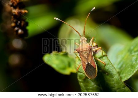 Cletus trigonus (Hemiptera) on a green leaf