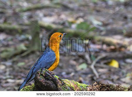 Orange-headed thrush (Geokichla citrina) in nature Thailand