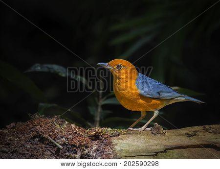 Orange-headed Thrush (Geokichla citrina) Bird in the forest