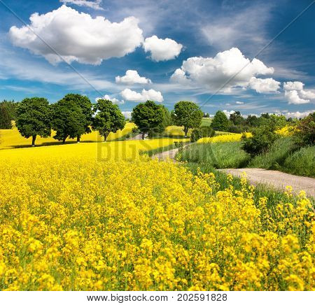 Field of rapeseed canola or colza in Latin Brassica napus with rural road alley and beautiful cloudy sky rape seed is plant for green energy and oil industry springtime golden flowering field