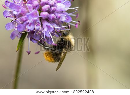 Early Bumblebee or early-nesting bumblebee, Bombus pratorum, male sitting on devils bit scabious, Succisa pratensis, in Norway, Europe