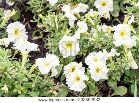 White flowers on the flowerbed in the park.