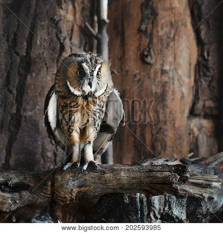 Tawny owl sits on a tree branch. Wild bird in captivity. Bird of prey