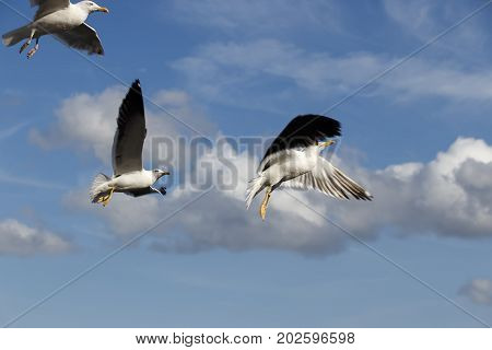 Several sea gulls in flight against a blue sky with white clouds