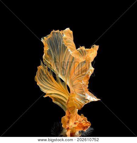 Close Up Art Movement Of Betta Fish,siamese Fighting Fish Isolated On Black Background.fine Art Desi