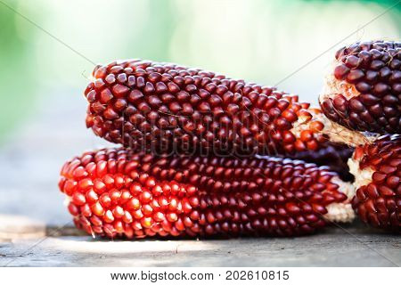 Selective focusbBoiled corn cobs, brown red color Maize seeds macro view. Shallow depth field close-up photo. Soft blurred green background