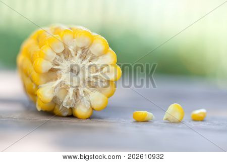 Boiled corn cob, yellow color Maize seeds macro view. Shallow depth field close-up photo, selective focus. Soft blurred green background
