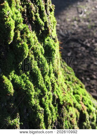 Green moss in nature . Detail of moss covered trunk