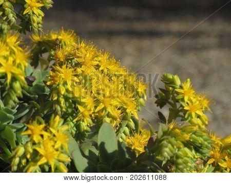 Yellow flowering Sedum palmeri plant . Succulent plant with yellow flowers