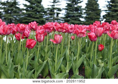 Many red tulips in a flowerbed in early spring