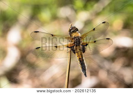 European Four-spotted Chaser dragonfly, Libellula quadrimaculata, resting on a stick, with soft natural background