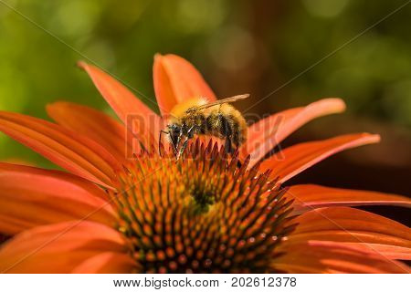 Bee at work on a orange coneflower