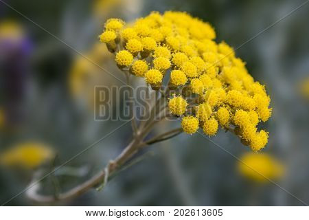 Yellow helichrysum flowers on a blurred background