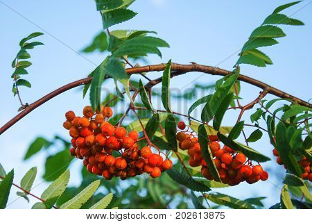 Colorful bunch of ripe rowan-berries on a branch