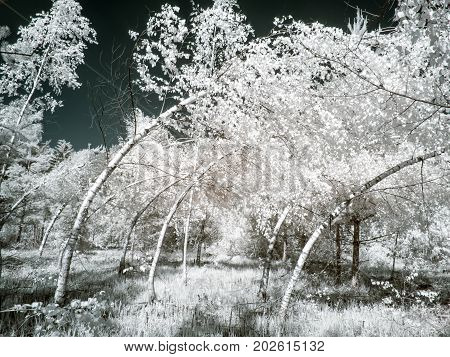 Infrared photography. The consequence of the icy rain. Twisted tree trunks