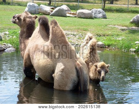 A mother Bactrian Camel with Baby Camel cooling off  in a pond of water.
