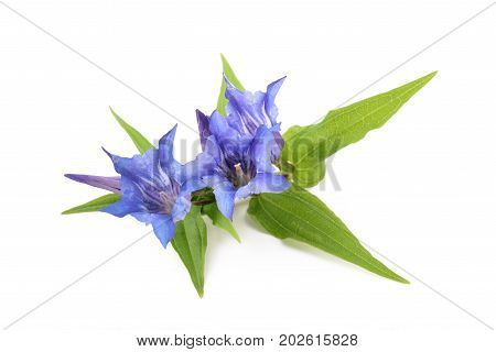 Gentiana asclepiadea isolated on a white background