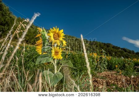 Agriculture landscape with beautifully lit shining sunflowers in the hard wind. A sunflower field against the mountain walls and hills near Valence