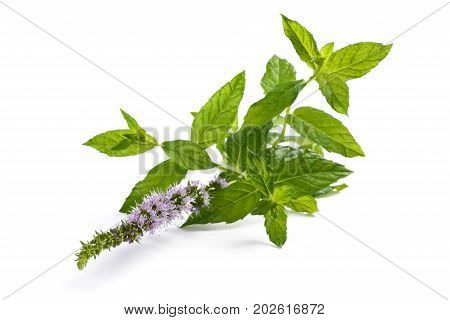 Mint plant with flowers isolated on white background