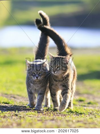 two lovers striped cat walking on green grass next to a Sunny spring day lifting tails