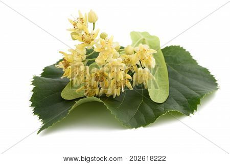 Linden Flowers And Leaf