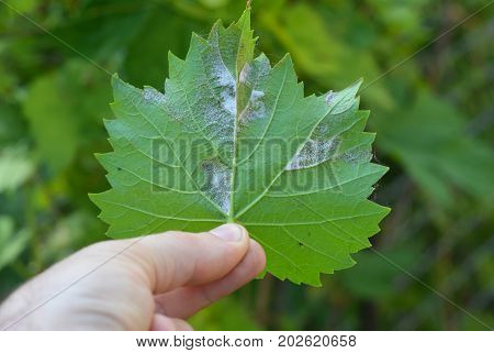 Grapevine diseases in Gardener Hand. Downy Mildew (Plasmopara vitikola) is a fungal disease that affects a grape leaves.
