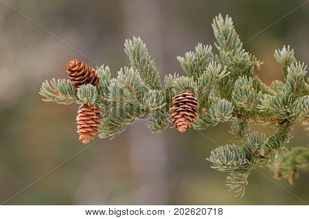 Isolated spruce bough with cones against a green background - outdoor