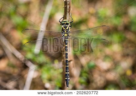 Golden-ringed Dragonfly, Cordulegaster boltonii, on a branch with soft background