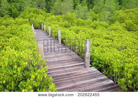 Wooden path in the bright green Spurred Mangrove or Indian Mangrove forest of Rayong province, Thailand