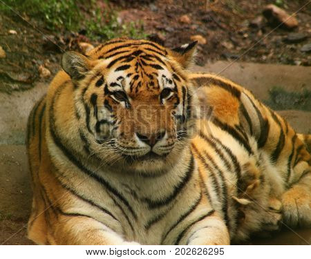Ussuri Tiger is lying on the ground