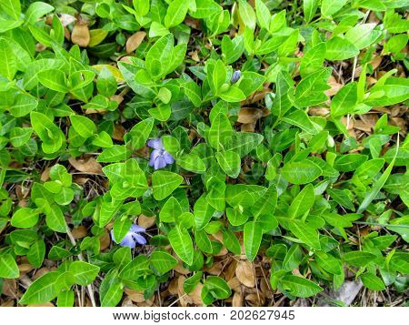 Floral green juicy background of a creeping plant of the Vinca minor with two blue flowers and one bud - top view. The blue flowers of the Common Periwinkle intertwined on the ground