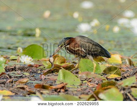 A Green Heron (Butorides virescens) standing on lily pads in the Mt. Sparta, New Jersey Wildlife Management Area, preparing to eat a pollywog it has just caught.