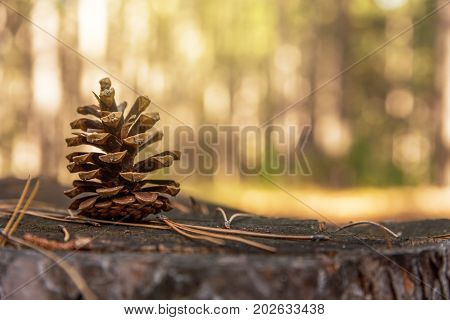 Pine cone on ground covered by needles in autumn