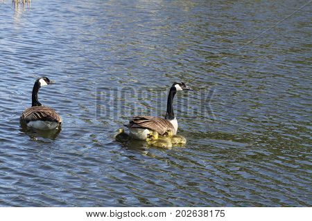 Canada geese (Branta canadensis) and Goslings  swimming in a marsh area in early spring.