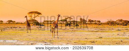 Evening panorama of savanna with giraffes, Amboseli National Park, Kenya, Africa.