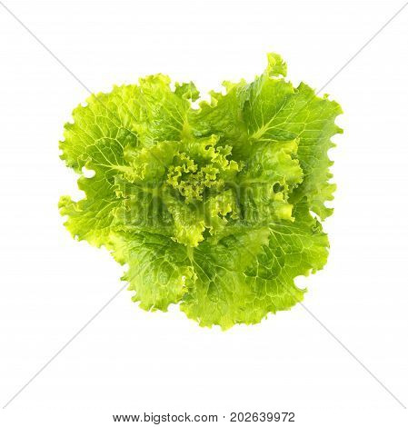 Lettuce fresh. Salad leaf. Lettuce isolated on white background. Fresh green lettuce leaves.