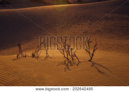 Dried prickly bush in the sand desert