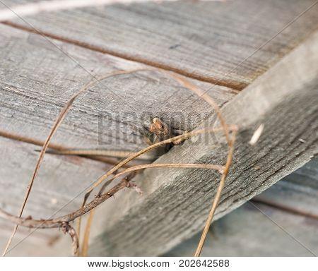 Uk Wild Common Or Viviparous Lizard On Fence Wall Wood