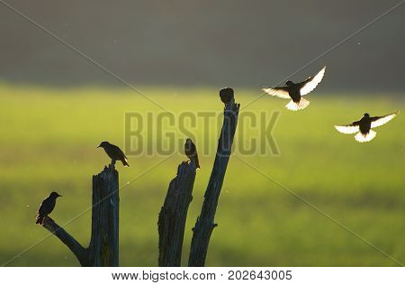 Small birds flying by and sitiing on an old wooden snag on summer evening in backlit conditions