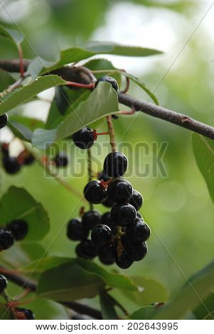 Owoce aronii czyli czarne jagody na drzewie