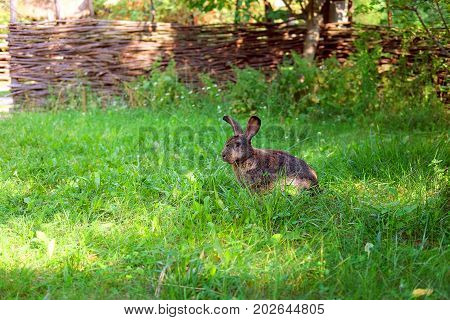 Traditional Ukrainian village. Countryside with wicker fence and grey hare in summer evening with green luscious grass and neglected garden. Eco living concept. Green tourism.